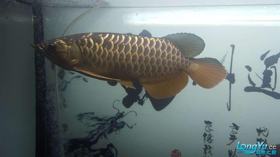 北京三湖慈鲷鱼各位大侠帮看看我这条是什么品种,品质怎样