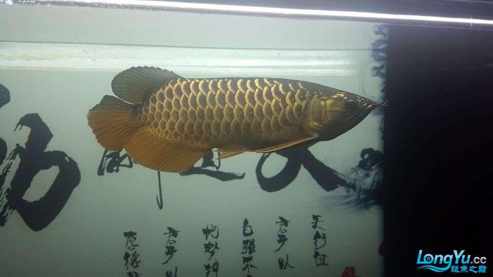 北京三湖慈鲷鱼各位大侠帮看看我这条是什么品种,品质怎样 北京观赏鱼 北京龙鱼第5张