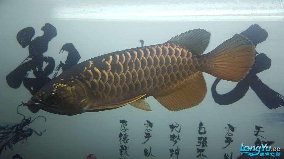 北京三湖慈鲷鱼各位大侠帮看看我这条是什么品种,品质怎样 北京观赏鱼 北京龙鱼第4张