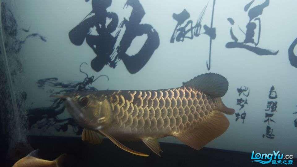 北京三湖慈鲷鱼各位大侠帮看看我这条是什么品种,品质怎样 北京观赏鱼 北京龙鱼第6张