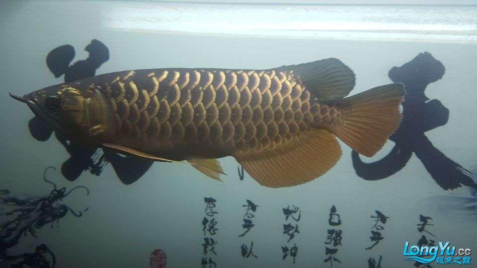 北京三湖慈鲷鱼各位大侠帮看看我这条是什么品种,品质怎样 北京观赏鱼 北京龙鱼第7张