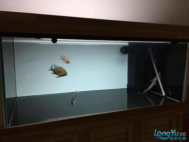 北京观赏鱼专用药北京白化鸭嘴鱼批发这样的背景颜色行不行
