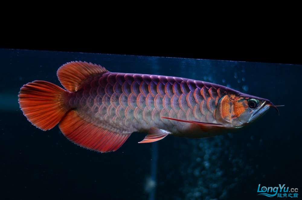 只想看鱼红龙鱼 北京观赏鱼 北京龙鱼第2张