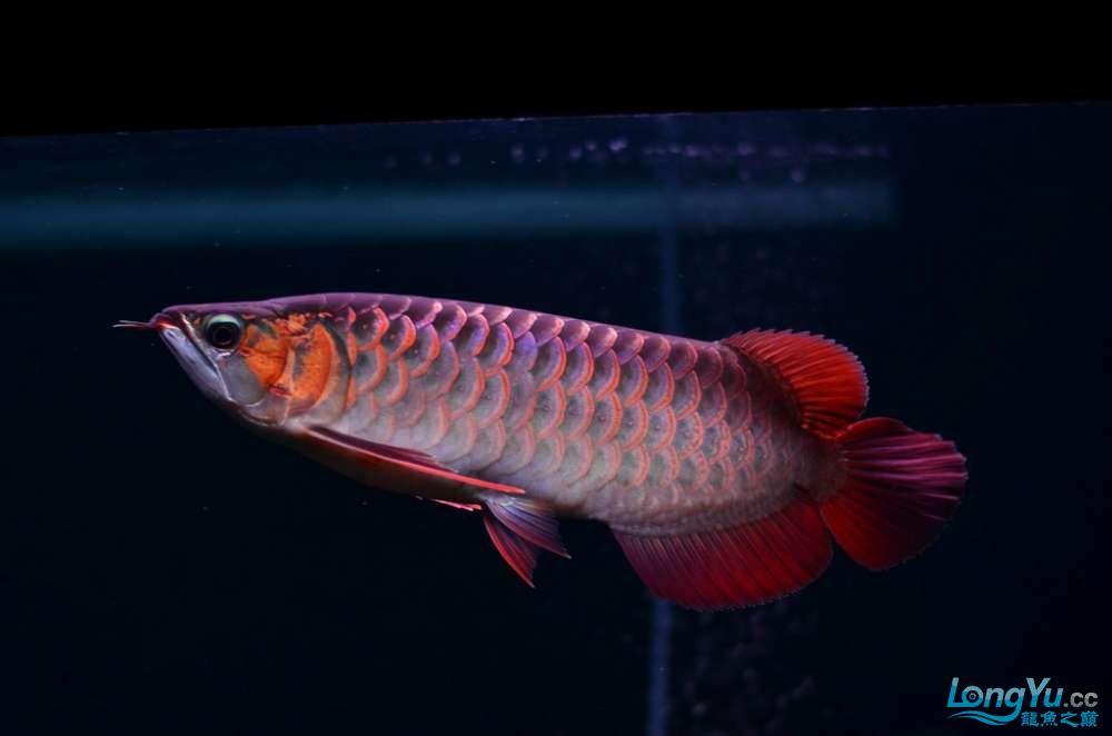只想看鱼红龙鱼 北京观赏鱼 北京龙鱼第3张