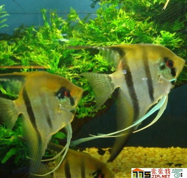 状态是饿出来的 北京观赏鱼 北京龙鱼第2张
