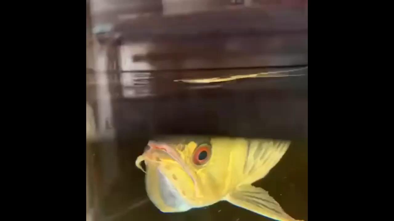公鱼含卵第三天,成不成功我也期待