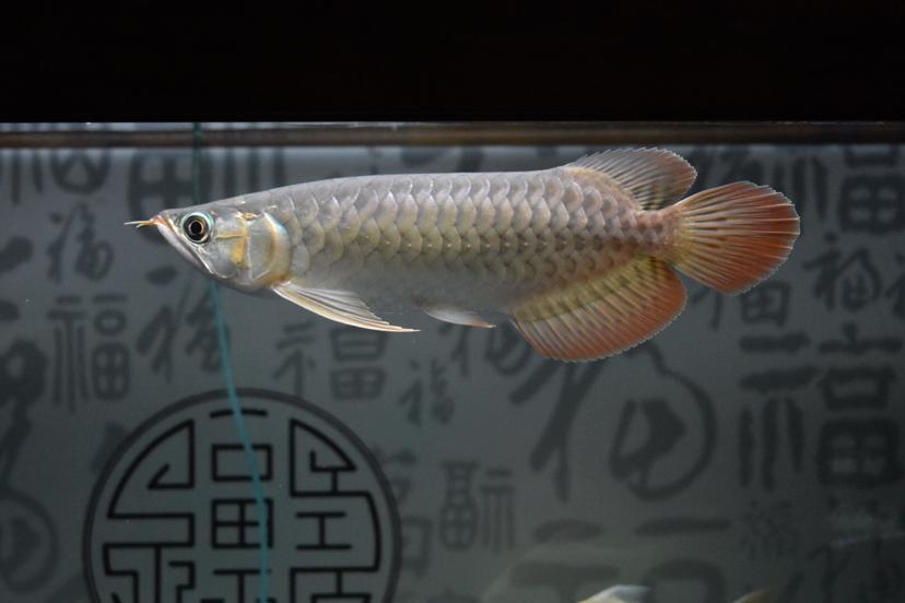 北京花鸟鱼虫市场电话红龙北京皇冠魟鱼拍照记录龙鱼圈