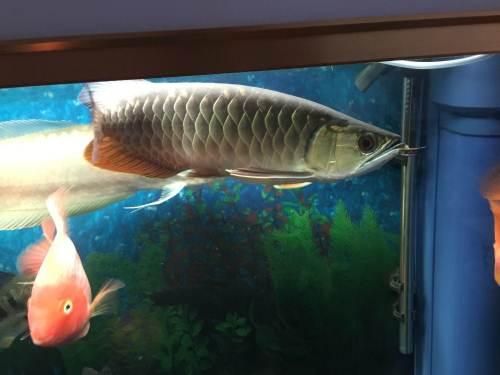 养了二年多了属那种龙鱼谢谢指教 北京龙鱼论坛
