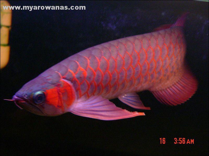 北京哪家有白子银龙新进北京水族红马大家看看 北京龙鱼论坛