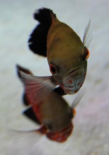 这条鱼不错哦北京银龙 北京观赏鱼