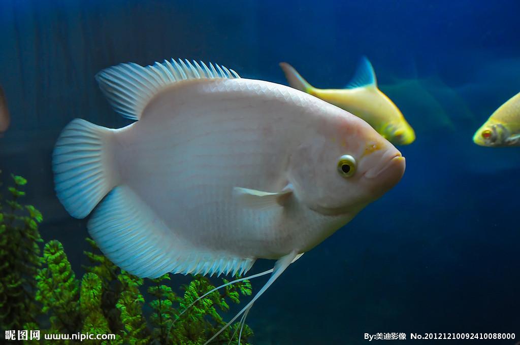 注意看的是尾巴 北京观赏鱼