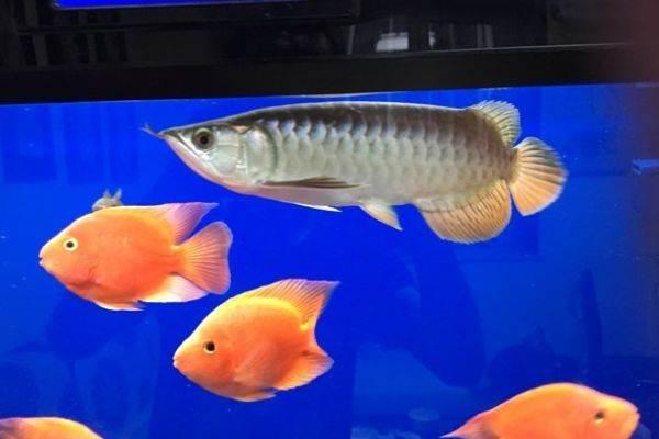 北京银龙孕母孔雀鱼龙巅 北京龙鱼论坛