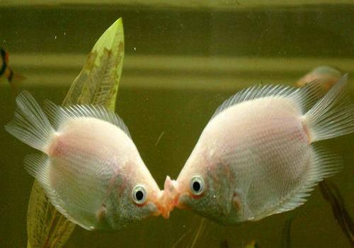 早晨起来又挂了一只 北京观赏鱼