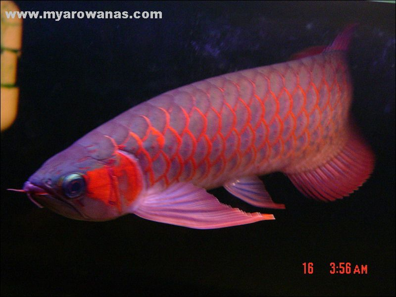 北京 观赏鱼 批发市场这条鱼尾巴有问题吗是混养打坏了吗 北京龙鱼论坛