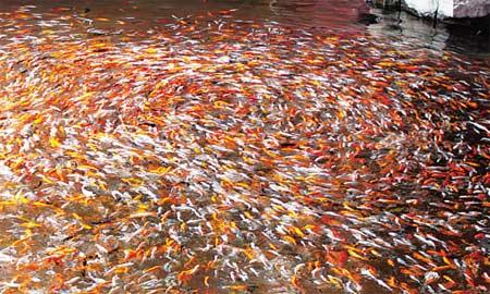 这怪鱼请高手北京斑马鸭嘴批发市场帮忙 北京观赏鱼