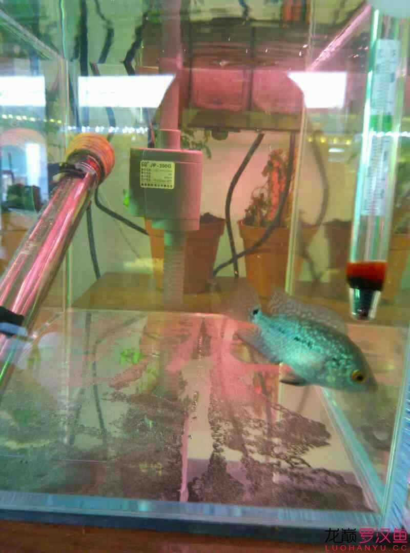 罗汉鱼真可以称小强 北京龙鱼论坛 北京龙鱼第3张