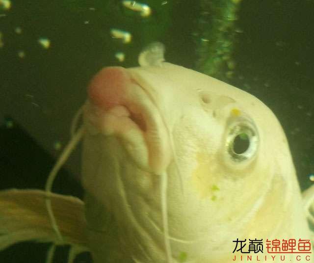 请问锦鲤嘴上长肉瘤怎么治疗? 内有详细图片 北京龙鱼论坛 北京龙鱼第1张