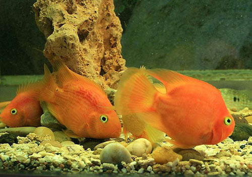 北京印尼虎鱼价格如何清理水族鱼缸中的鱼粪和残鱼饲料 北京观赏鱼 北京龙鱼第3张