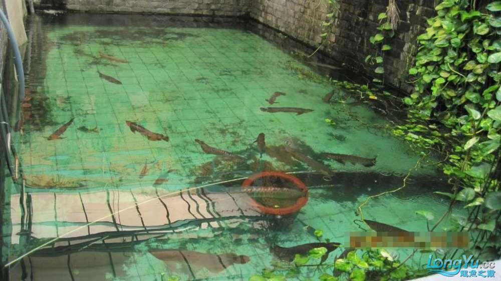 龙巅鱼友看看这个龙鱼池霸气 北京龙鱼论坛 北京龙鱼第2张