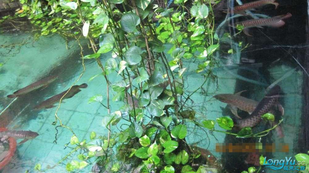 龙巅鱼友看看这个龙鱼池霸气 北京龙鱼论坛 北京龙鱼第4张