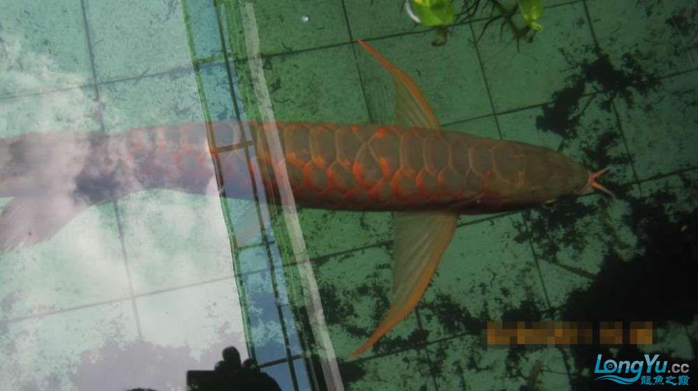龙巅鱼友看看这个龙鱼池霸气 北京龙鱼论坛 北京龙鱼第1张