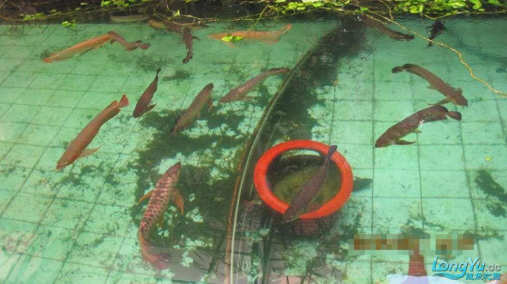 龙巅鱼友看看这个龙鱼池霸气 北京龙鱼论坛 北京龙鱼第3张