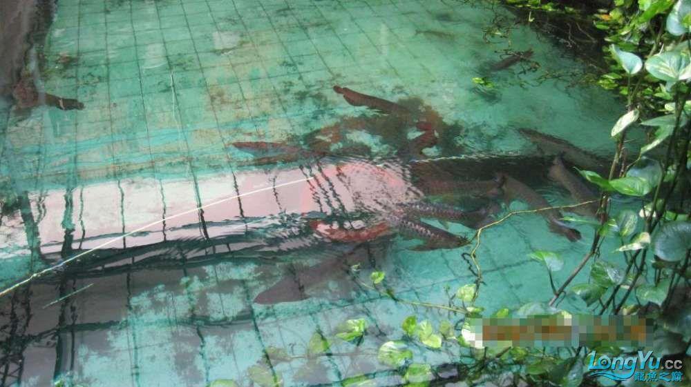 龙巅鱼友看看这个龙鱼池霸气 北京龙鱼论坛 北京龙鱼第7张