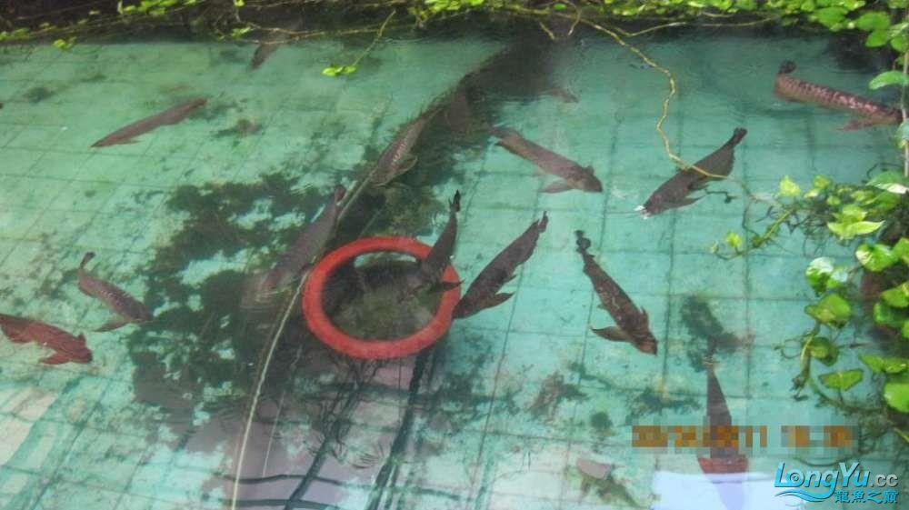 龙巅鱼友看看这个龙鱼池霸气 北京龙鱼论坛 北京龙鱼第11张