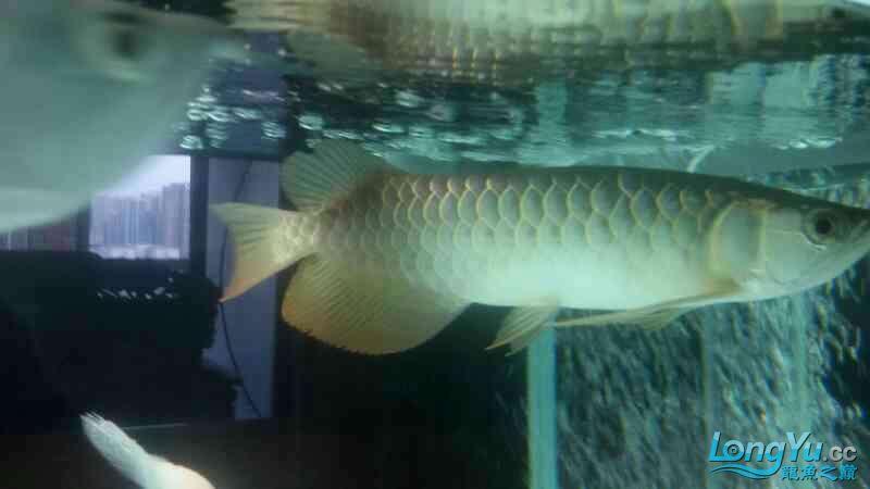 龙鱼回来一周不吃活饵这是什么情况? 北京观赏鱼 北京龙鱼第2张