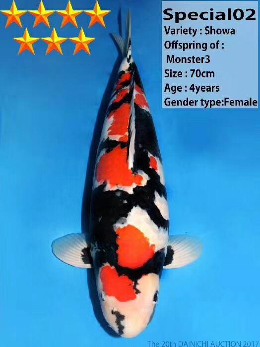 让大家看看一条七星推荐的昭和 北京龙鱼论坛 北京龙鱼第1张