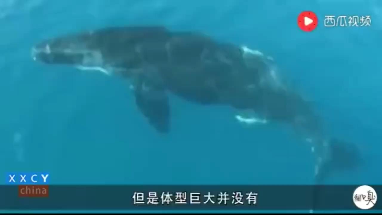 日本捕鲸最厉害?其实冰岛是捕鲸杀手 北京观赏鱼 北京龙鱼第1张