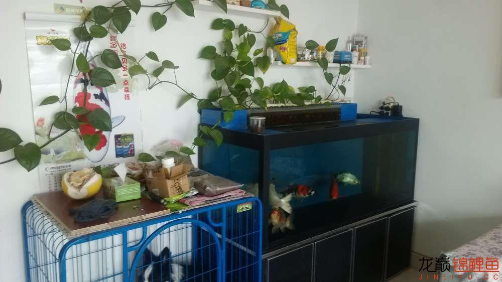 老族长锦鲤缸是我的+我的自制锦鲤底滤缸 北京龙鱼论坛 北京龙鱼第1张