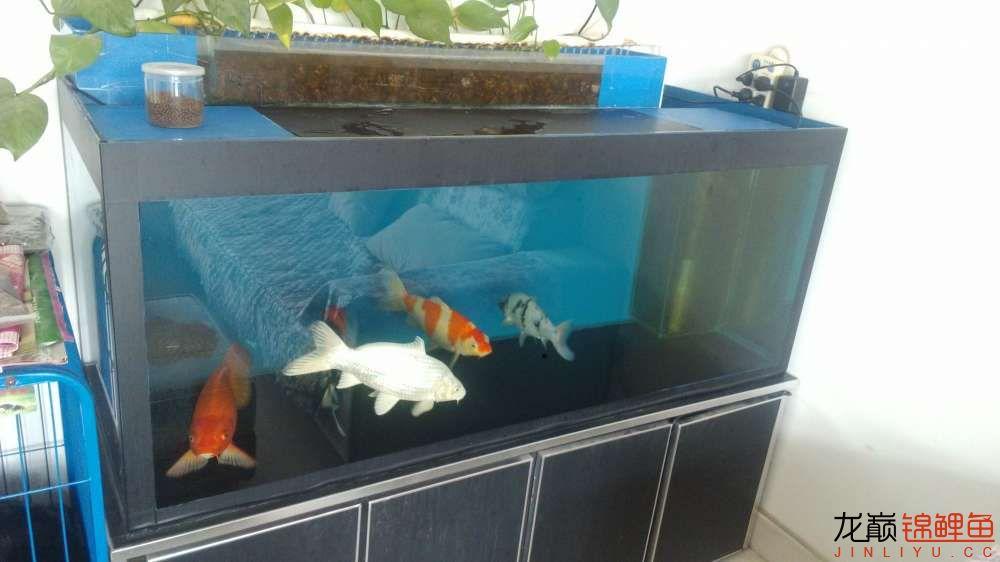 老族长锦鲤缸是我的+我的自制锦鲤底滤缸 北京龙鱼论坛 北京龙鱼第2张