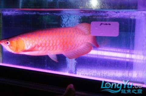如此红法 北京龙鱼论坛 北京龙鱼第3张