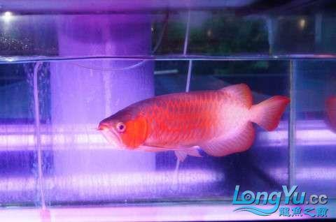 如此红法 北京龙鱼论坛 北京龙鱼第1张