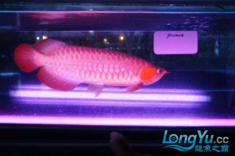如此红法 北京龙鱼论坛 北京龙鱼第5张