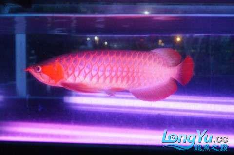 如此红法 北京龙鱼论坛 北京龙鱼第4张