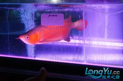 如此红法 北京龙鱼论坛 北京龙鱼第2张