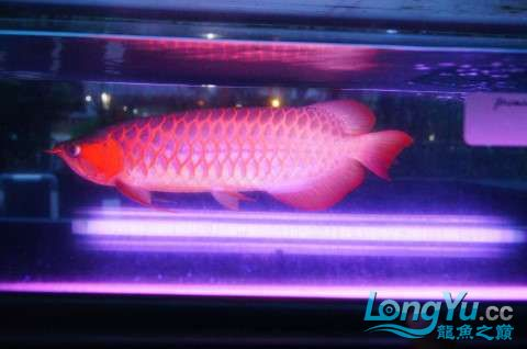 如此红法 北京龙鱼论坛 北京龙鱼第6张
