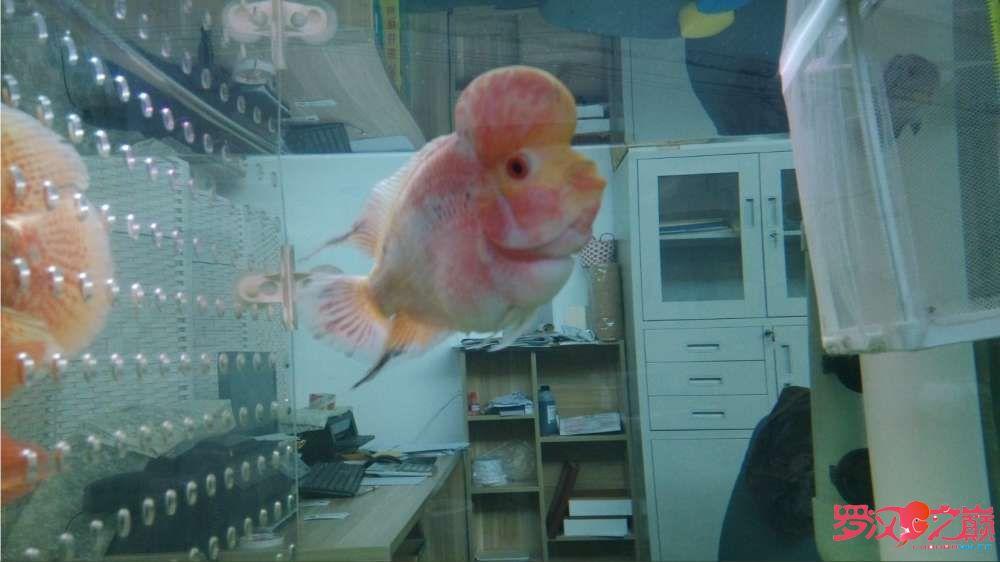 请大神们看看我罗汉是什么品种好像看起来跟你们的不一样 北京龙鱼论坛 北京龙鱼第1张