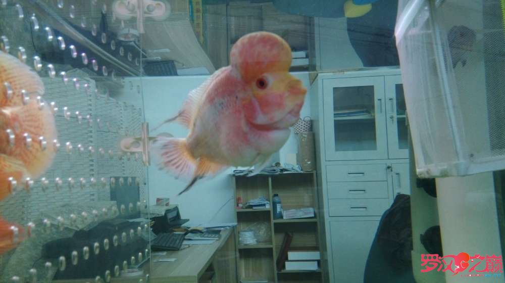 请大神们看看我罗汉是什么品种好像看起来跟你们的不一样 北京龙鱼论坛 北京龙鱼第2张