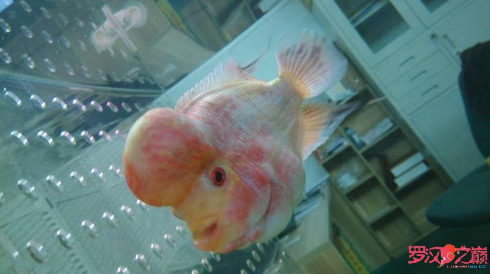 请大神们看看我罗汉是什么品种好像看起来跟你们的不一样 北京龙鱼论坛 北京龙鱼第3张
