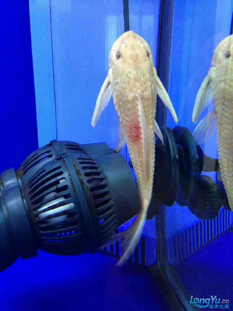 清道夫身上红斑是怎么回事 北京观赏鱼 北京龙鱼第1张