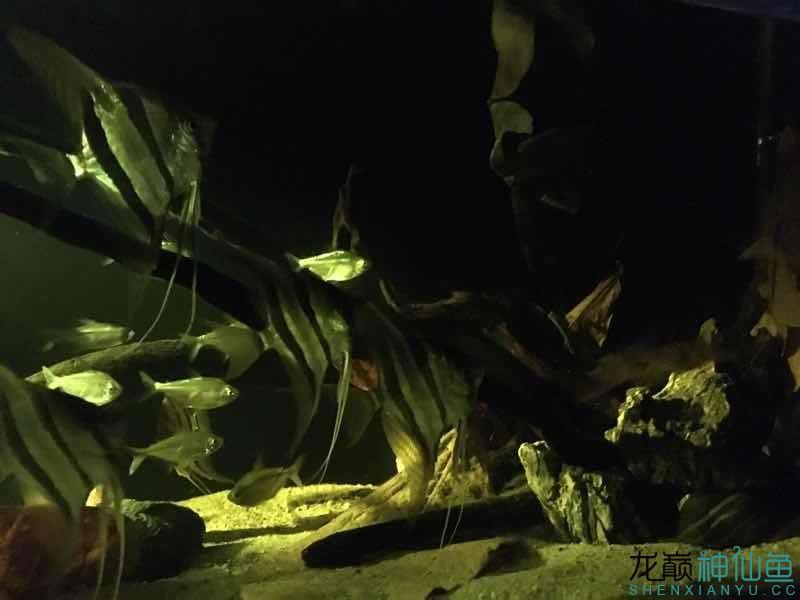 北京白化金刀苗晒晒自己的埃及 北京观赏鱼 北京龙鱼第4张