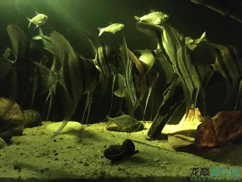北京白化金刀苗晒晒自己的埃及 北京观赏鱼 北京龙鱼第1张