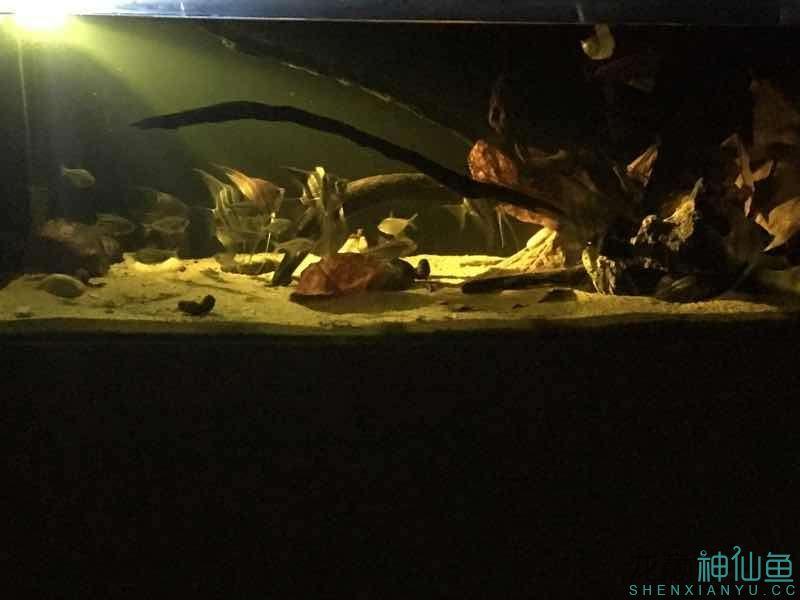 北京白化金刀苗晒晒自己的埃及 北京观赏鱼 北京龙鱼第6张