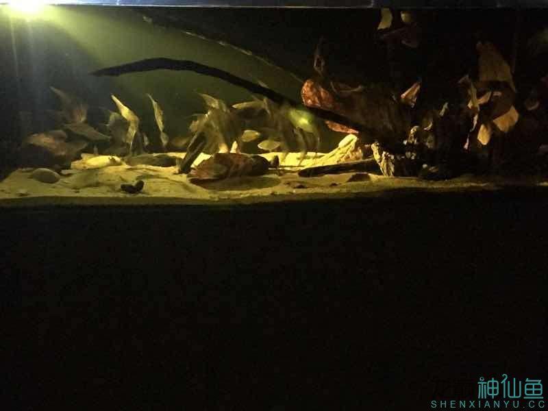 北京白化金刀苗晒晒自己的埃及 北京观赏鱼 北京龙鱼第5张