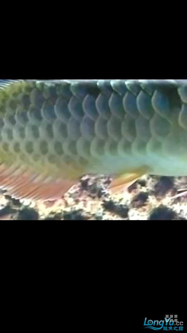求鉴定我得小龙28㎝ 北京观赏鱼 北京龙鱼第1张