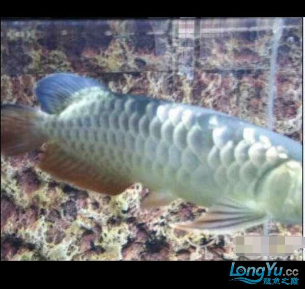 求鉴定我得小龙28㎝ 北京观赏鱼 北京龙鱼第2张