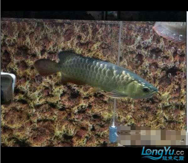 求鉴定我得小龙28㎝ 北京观赏鱼 北京龙鱼第3张